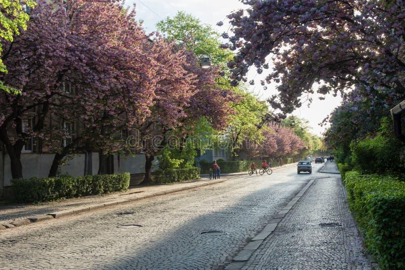 UZHGOROD, UKRAINE-APRIL 24, 2017: Street with blooming sakura in evening. Uzhgorod is city in western Ukraine, center of. The Transcarpathian region stock images