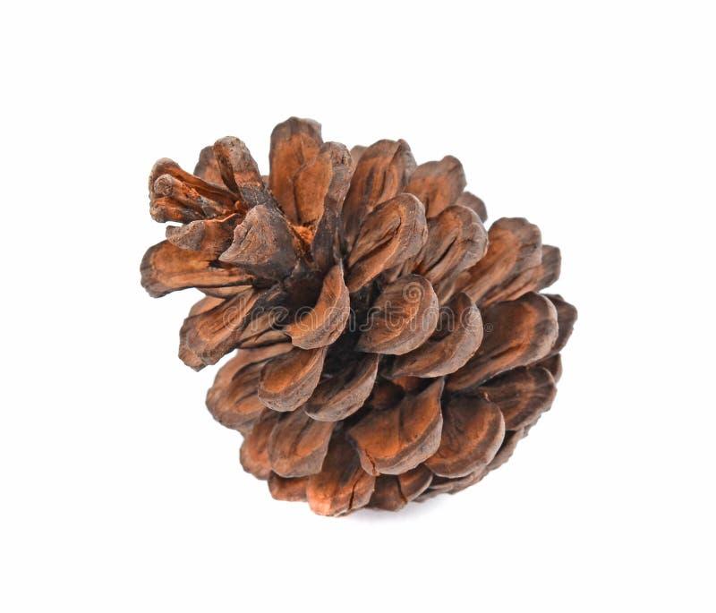 Várias árvores coníferas dos cones isoladas no fundo branco fotografia de stock