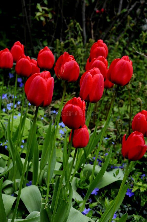 Várias flores das tulipas da cor fotos de stock