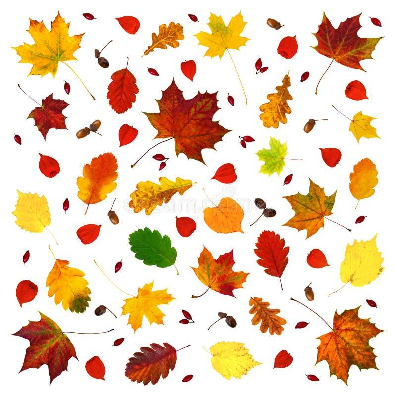 Várias folhas coloridas da queda, alkekengi do Physalis das lanternas do physalis, frutos da cão-rosa e composição abstrata das b fotos de stock