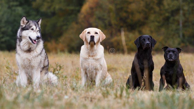 Várias raças dos cães foto de stock