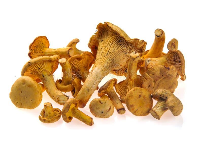 Vários cogumelos frescos de chanterelle de tamanhos diferentes em fundo branco foto de stock