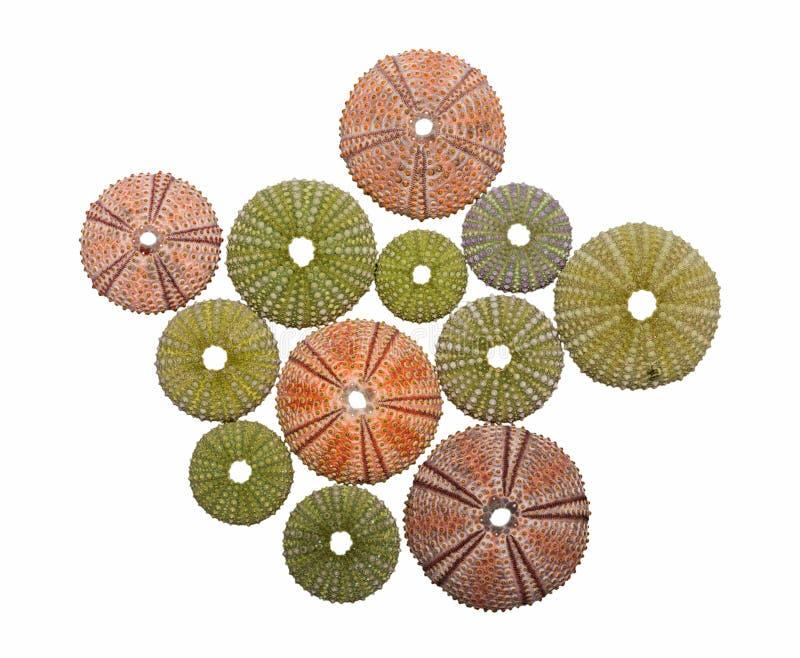 Vários shell do diabrete de mar isolados foto de stock royalty free