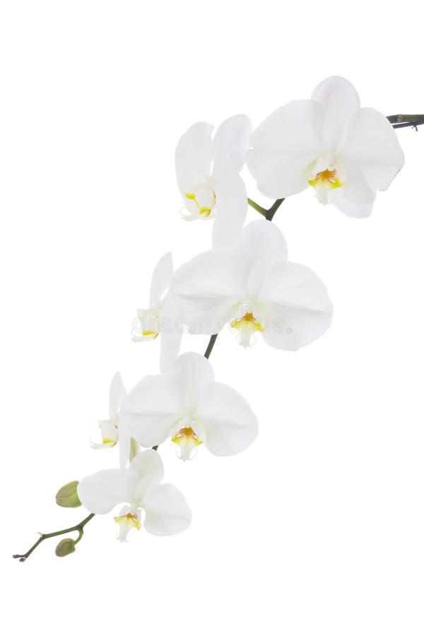 Vástago floreciente de una orquídea blanca fotos de archivo libres de regalías