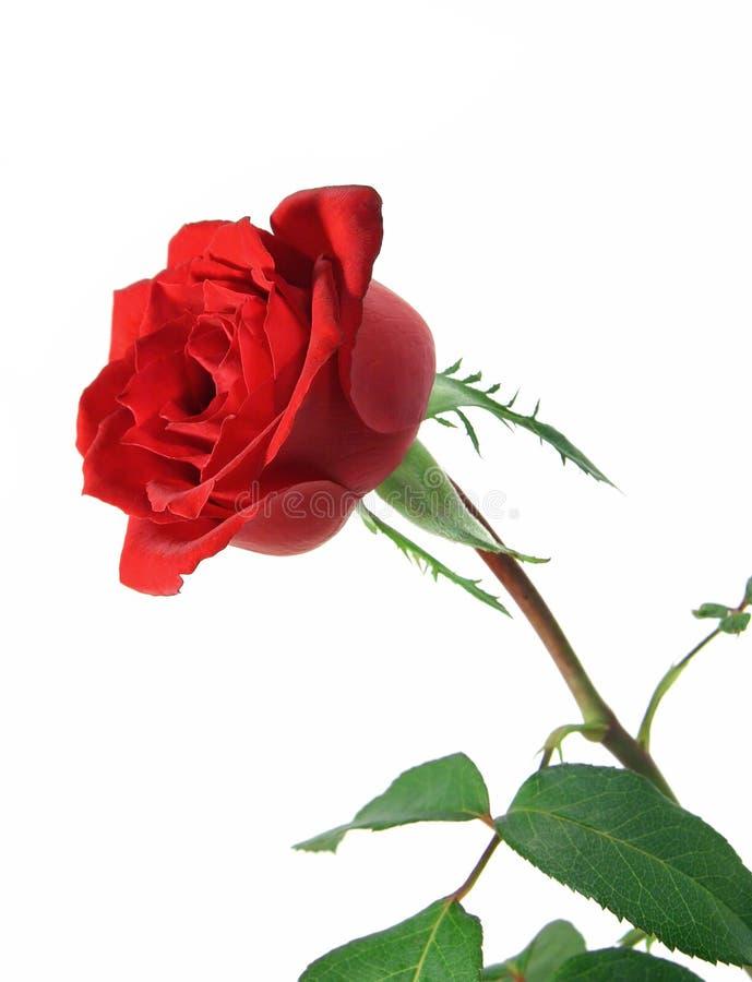 Vástago largo Rose imágenes de archivo libres de regalías