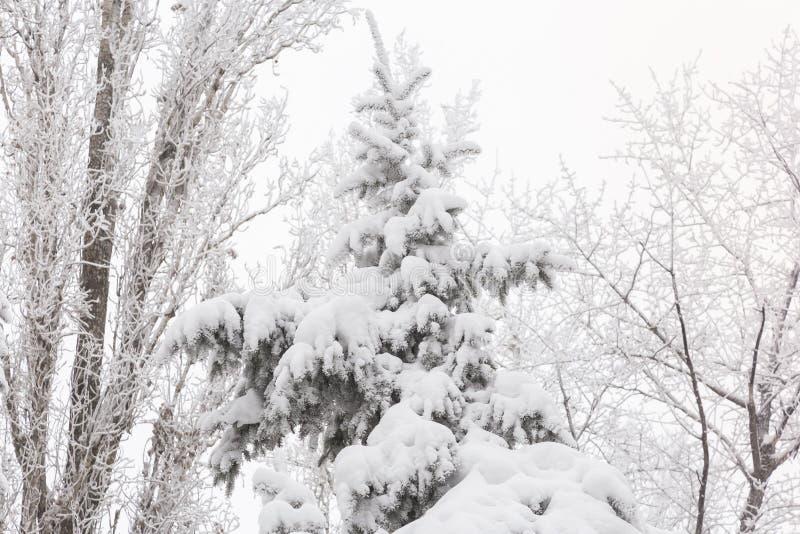 Väder, förkylning, vintern i skogträdfilialerna och granträd täckte med ny vit snö och rimfrost efter ett snöfall in fotografering för bildbyråer