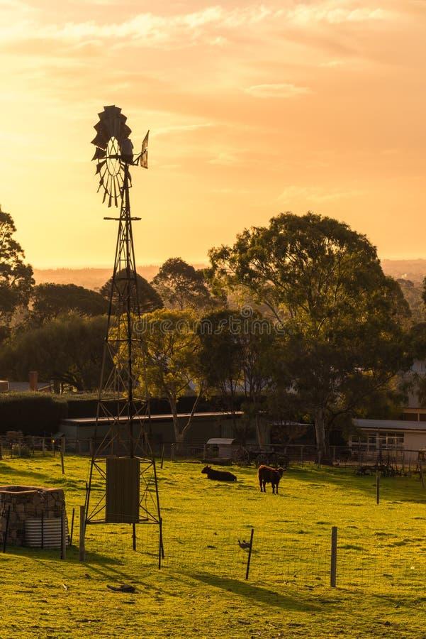 Väderkvarn med att beta kor på daglig lantgård på solnedgången arkivfoton
