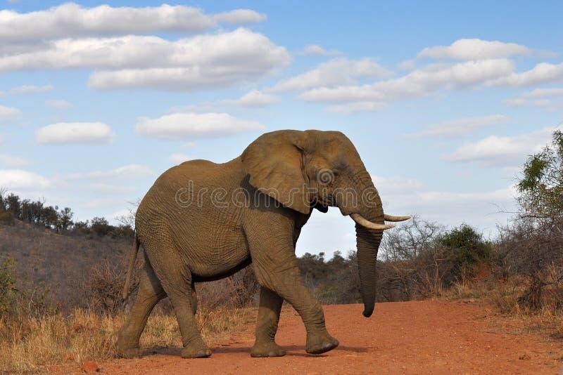 väg för crossingelefantred royaltyfri bild