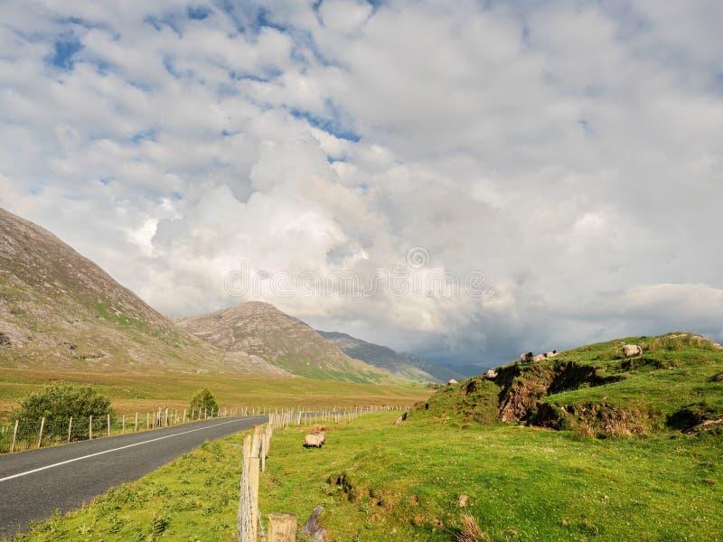Väg i den Connemara nationalparken, molnig dag, får som betar gräs i fältet, berg i bakgrunden arkivfoto