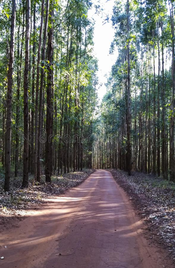 Väg i eukalyptusskogen i röd jord royaltyfria foton
