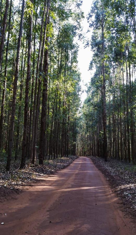Väg i eukalyptusskogen i röd jord arkivbilder