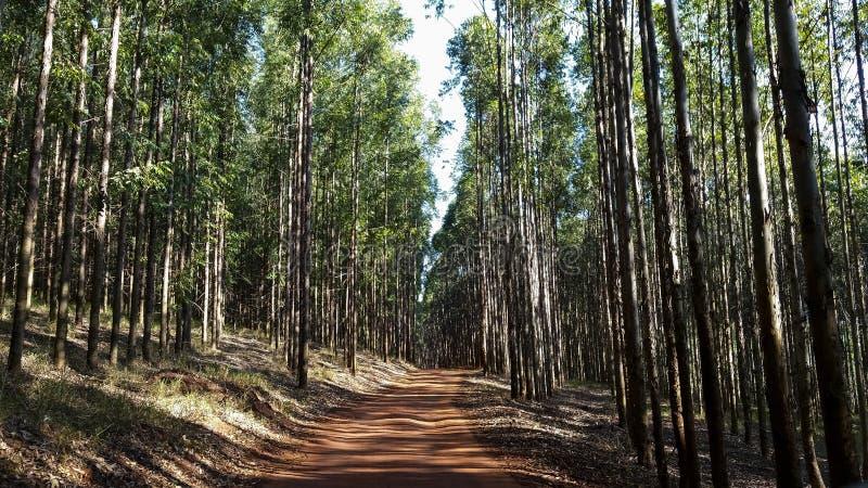 Väg i eukalyptusskogen i röd jord arkivfoto