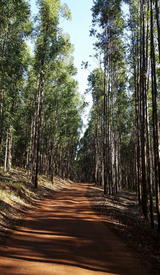 Väg i eukalyptusskogen i röd jord fotografering för bildbyråer