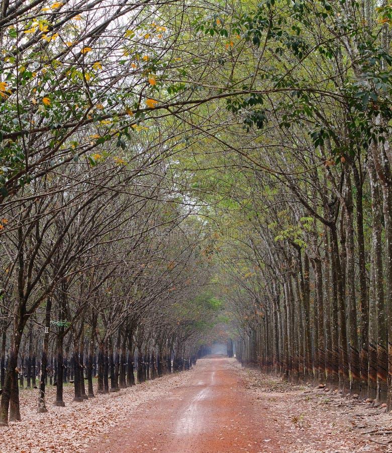 Väg i gummiträdskog i Binh Duong, Vietnam royaltyfria bilder