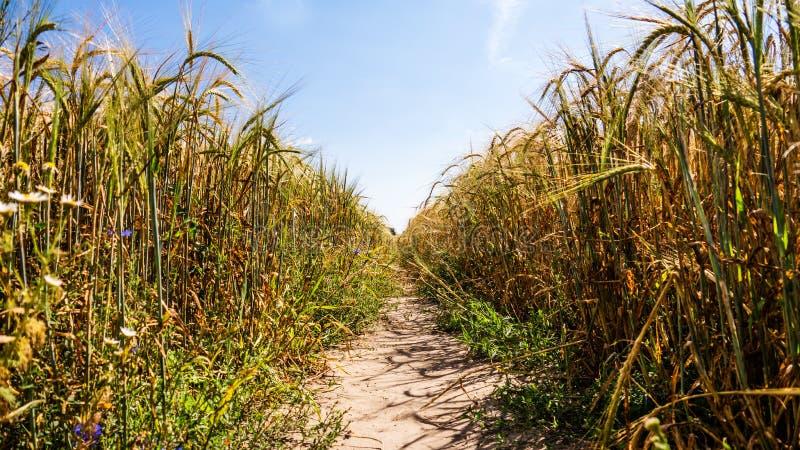 Väg i kornfält royaltyfri bild