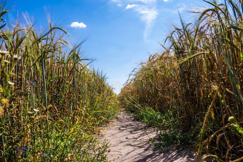 Väg i kornfält arkivbilder