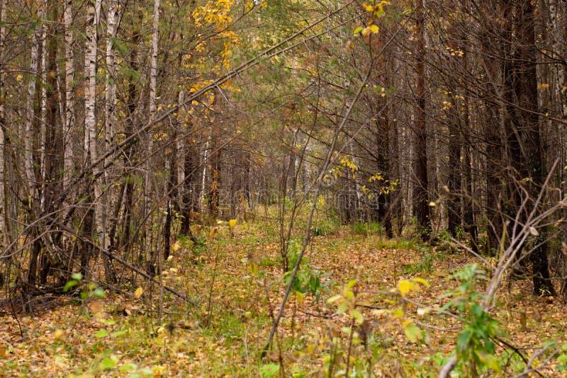 Väg längs höstskogen in i avståndet arkivbilder