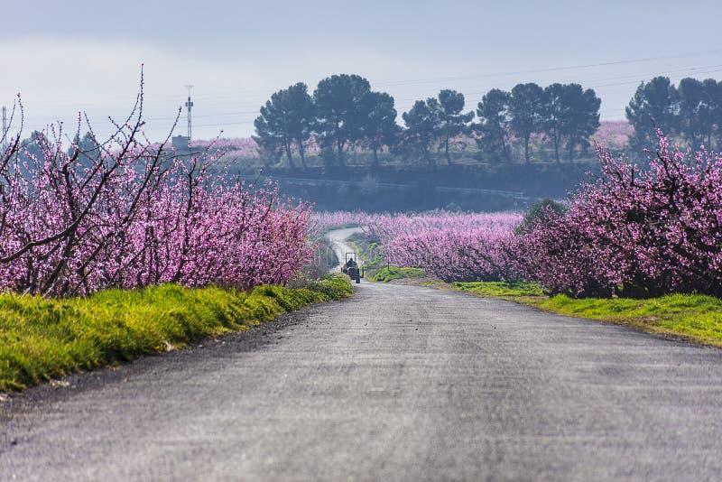 Väg med träd för en traktor och persikai blom på båda sidor, i en solig morgon Gammalt sörjer på bakgrund Aitona Jordbruk arkivbilder
