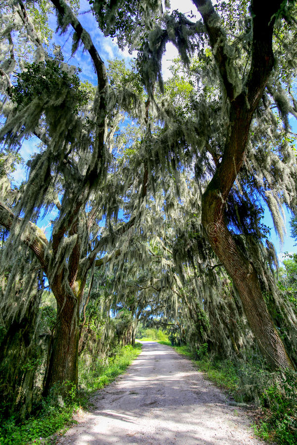 Väg med träd som hänger över med spansk mossa i sydliga USA arkivfoton