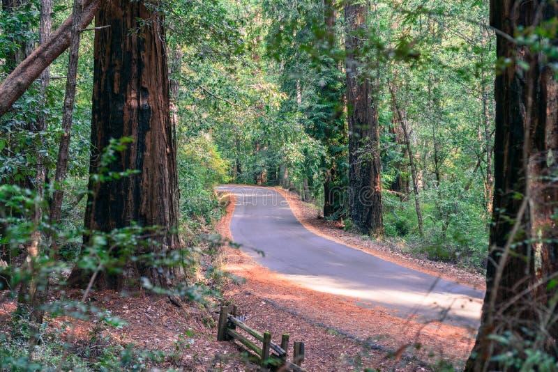 Väg som går till och med en skog för redwoodträdsequoiasempervirens royaltyfri bild