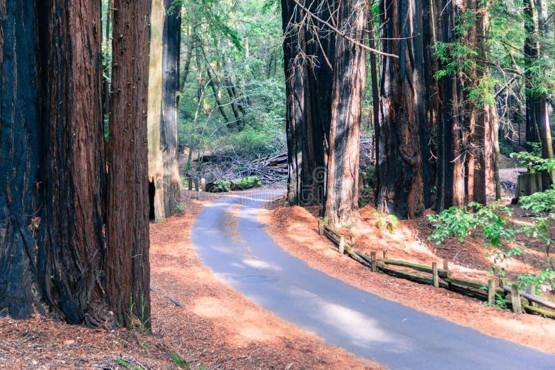 Väg som går till och med en skog för redwoodträdsequoiasempervirens fotografering för bildbyråer
