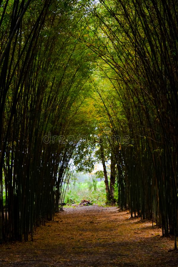 Väg till och med bambuskog och ljust slut slutet av tunnelen royaltyfri bild