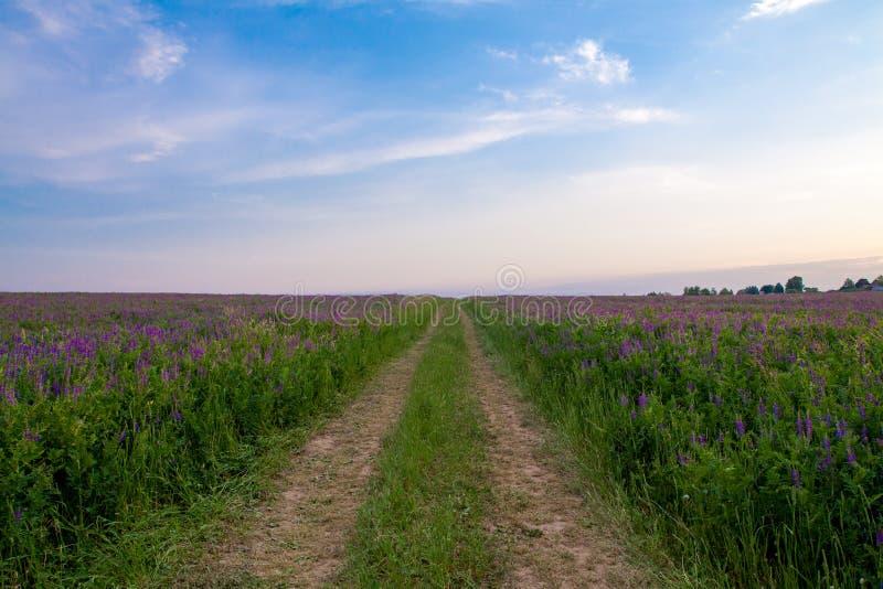 Väg till och med fältet med lila blommor arkivfoto