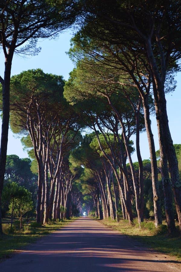 Vägen med sörjer trees arkivfoto