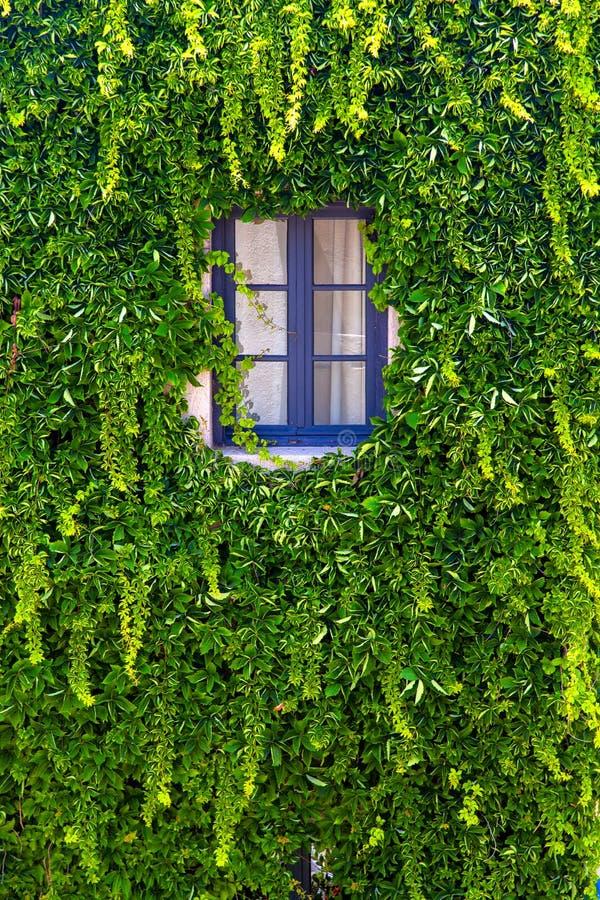 Vägg av ett hus med fönstret som täckas med murgrönan royaltyfri bild