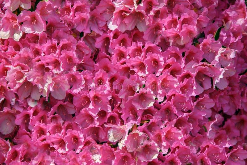 Vägg av rosa verkliga blommor, spektakulär bakgrund, underbara blommor arkivbild