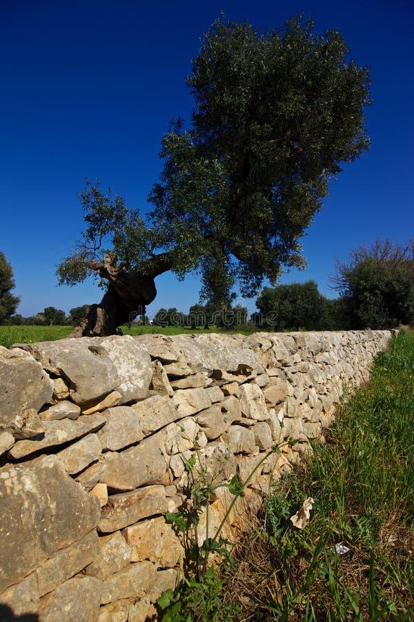 Vägg och olivträd för torr sten royaltyfri foto