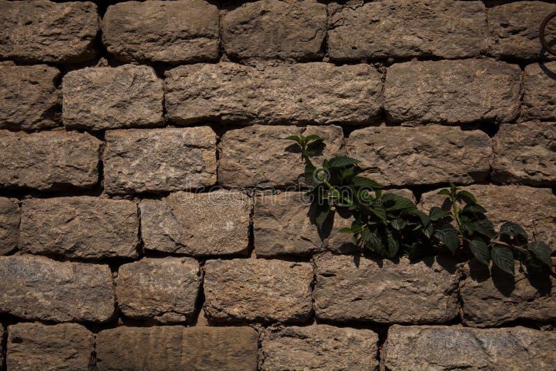 Väggranka på stenväggen arkivfoton