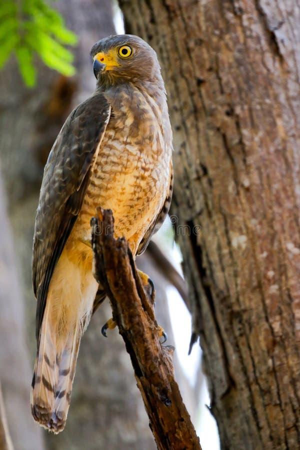 Vägrenen Hawk Buteo Magnirostris sätta sig i ett träd royaltyfri foto