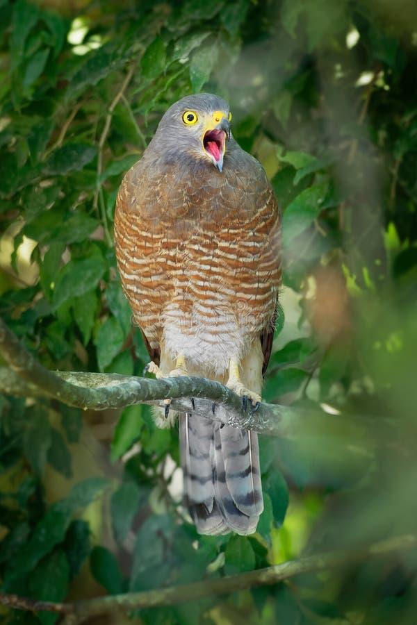 Vägrenhök - liten fågel för Rupornis magnirostris förhållandevis av rov som finnas i Americasna Detta röst- art är ofta mest fotografering för bildbyråer