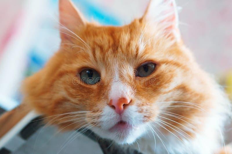 Väl underhållen ren fluffig katt, ljust rödbrun huskatt arkivbilder