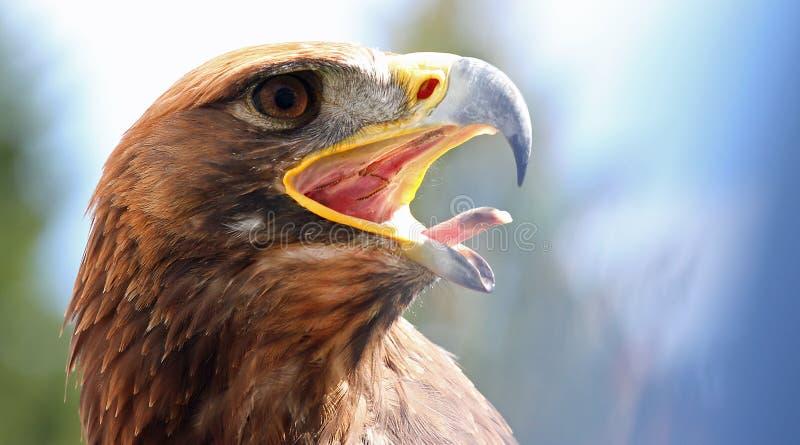 Väldiga Eagle med dess öppna näbb fotografering för bildbyråer
