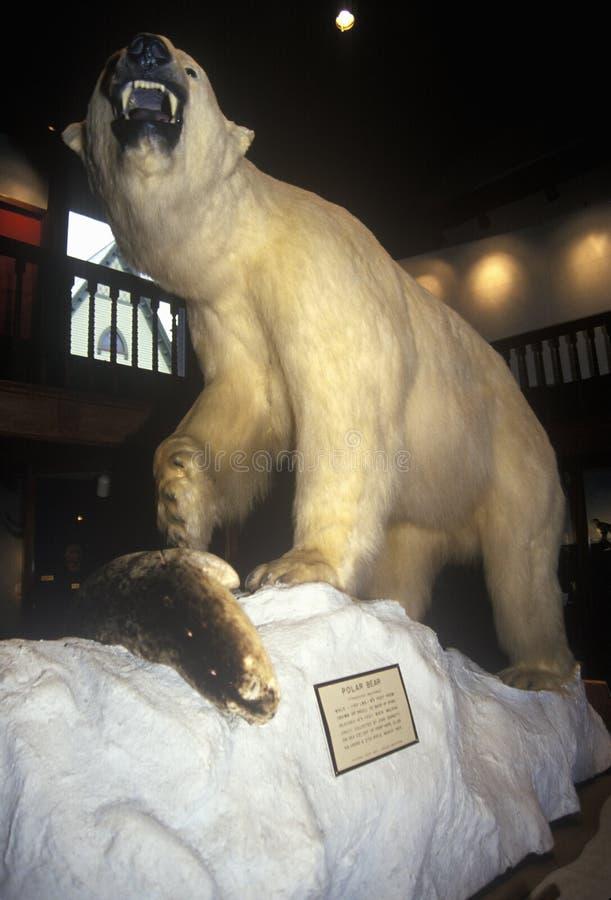 Välfylld isbjörn i det Fairbanks museet/planetariet i St Johnsbury, VT royaltyfri fotografi
