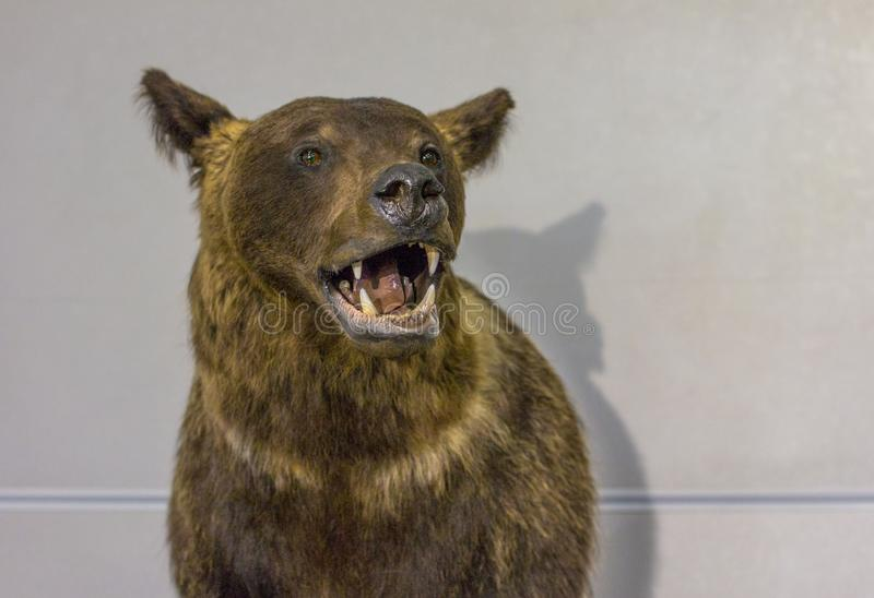 Välfylld lös björn fotografering för bildbyråer