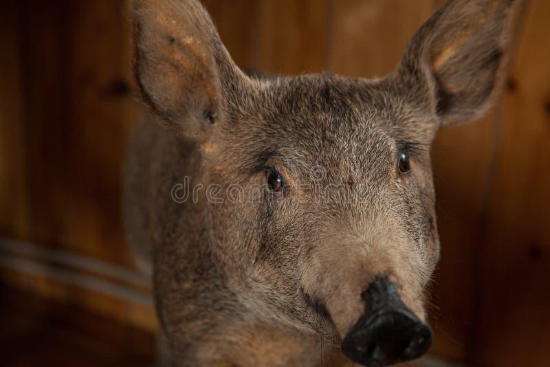Välfyllt huvud för vildsvin` s med en grina mun Välfyllt huvud för vildsvin` s med en grina mun royaltyfria foton