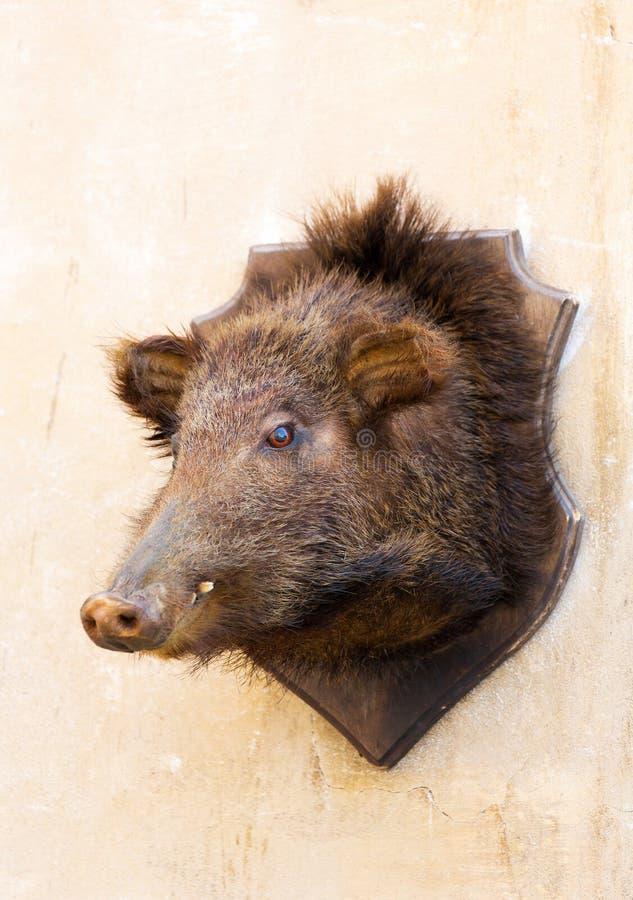 Välfyllt vildsvinhuvud på en vägg royaltyfri fotografi