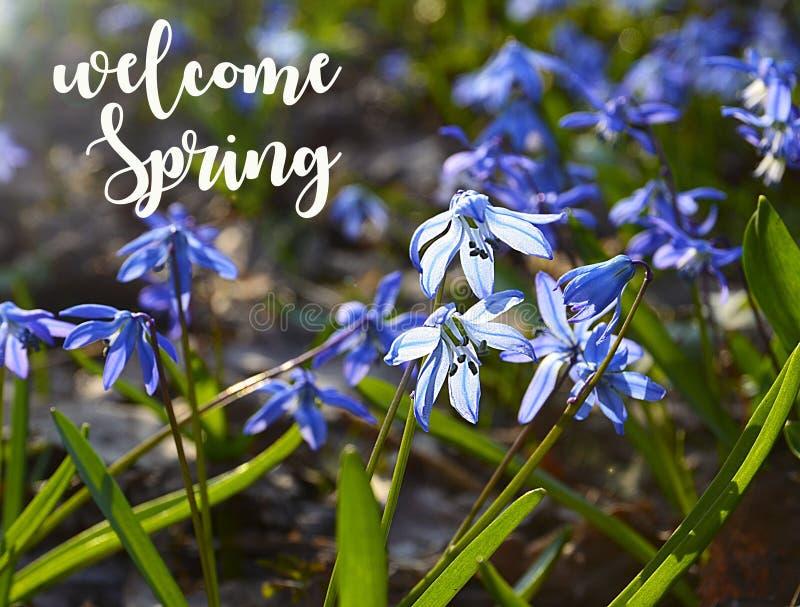 Välkommet vårkort Blåa Scilla blommar i snödroppar för en vårforestBlue Blommor för Scilla sibericaSquill fotografering för bildbyråer