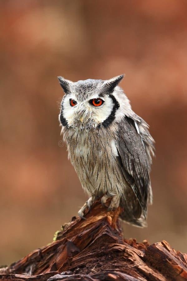 vänd mot sydlig white för owl Ptilopsis lån Afrikansk uggla arkivfoton