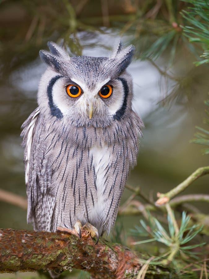 vända mot vita owlscops royaltyfri foto