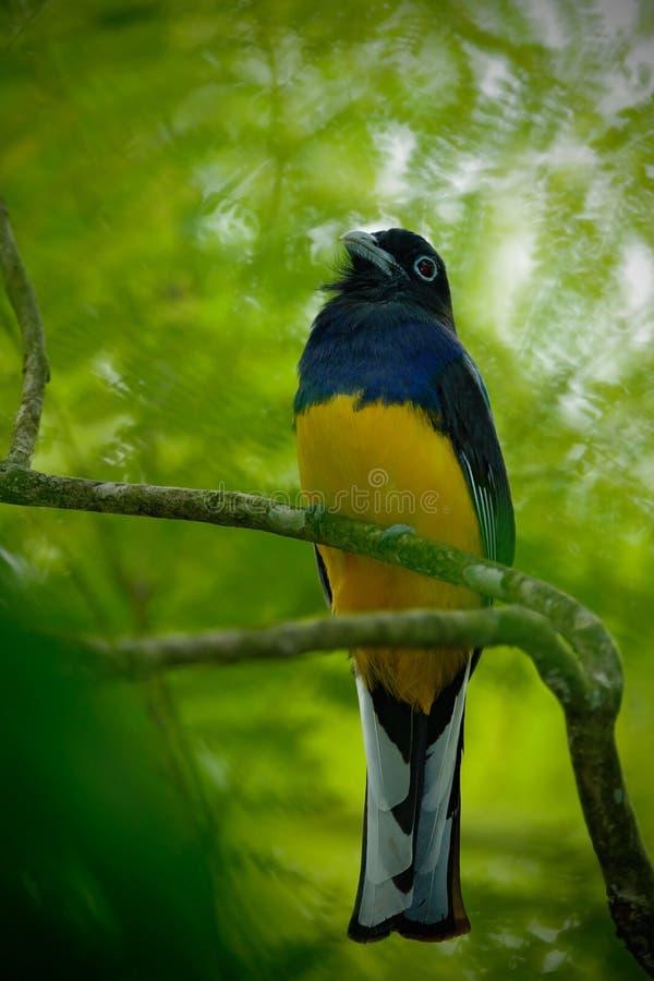 Vändkretsfågel i skogen Guianan Trogon, Trogon violaceus, guling och mörker - blått exotiskt sammanträde för vändkretsfågel på tu royaltyfri foto