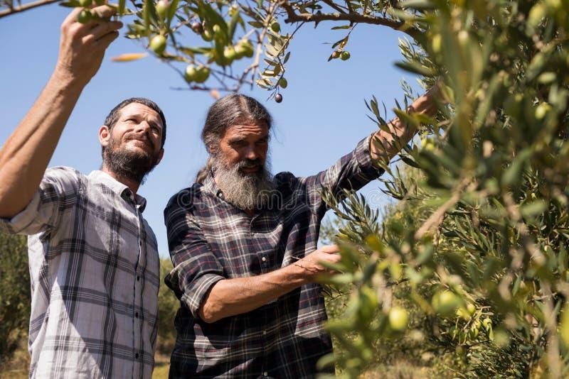 Vänner som undersöker oliv på växten arkivbild