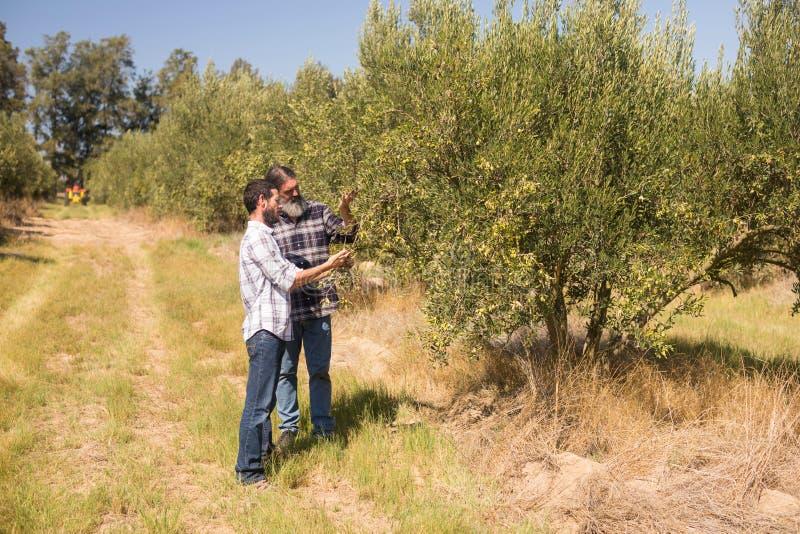 Vänner som undersöker oliv på växten royaltyfri fotografi
