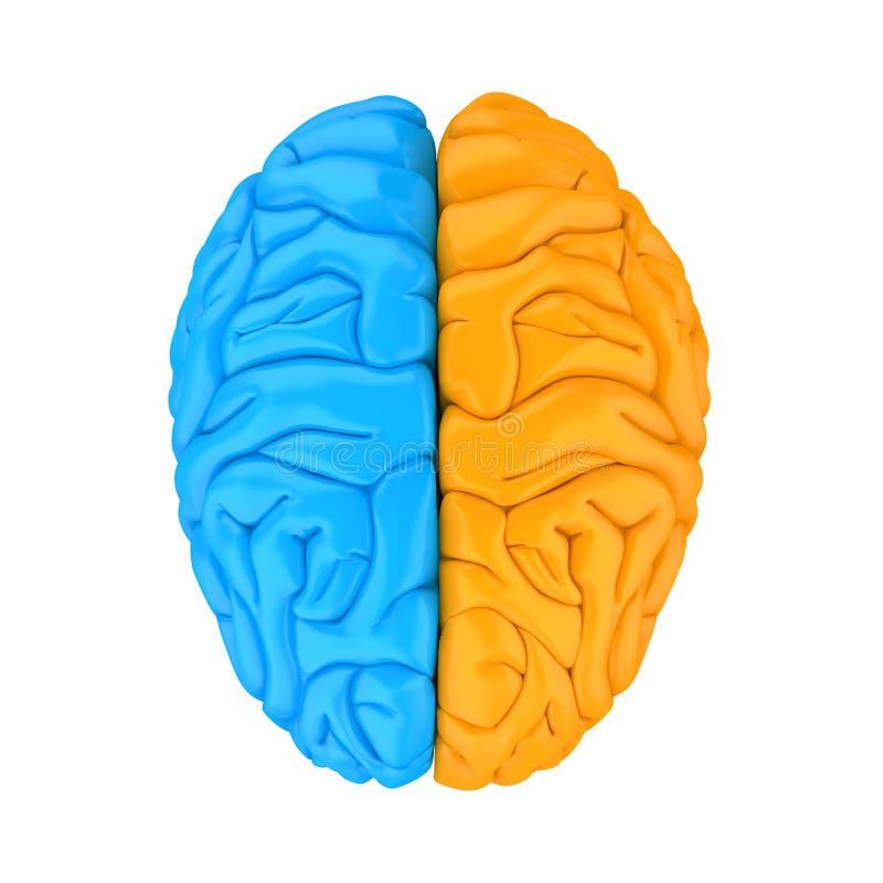 Vänster och höger människa Brain Anatomy Illustration stock illustrationer
