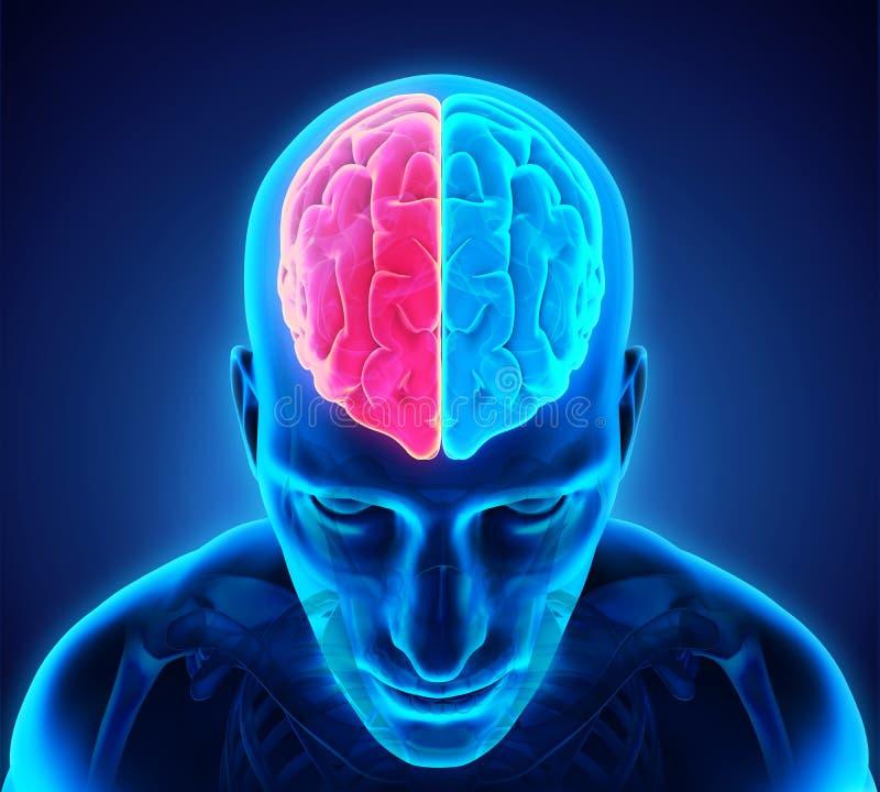 Vänster och höger mänsklig hjärna stock illustrationer