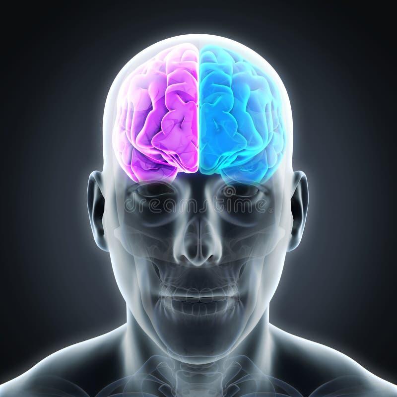 Vänster och höger mänsklig hjärna royaltyfri illustrationer