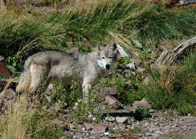 vänster plattform wolf arkivfoton